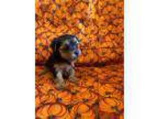 Yorkshire Terrier Puppy for sale in Lake City, IA, USA