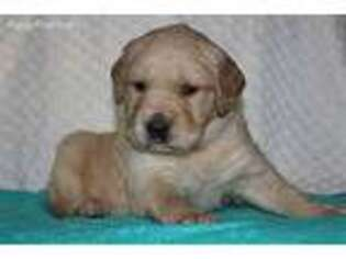Golden Retriever Puppy for sale in Saint Joe, IN, USA