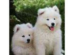 Puppyfinder com: Samoyed puppies puppies for sale and