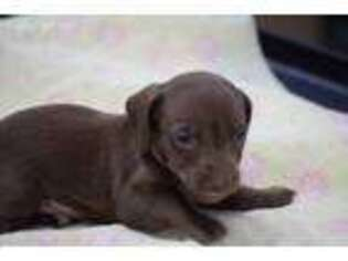Dachshund Puppy for sale in Mount Vernon, IL, USA