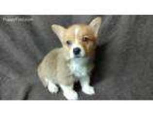View Ad Pembroke Welsh Corgi Puppy For Sale Florida Redland Usa