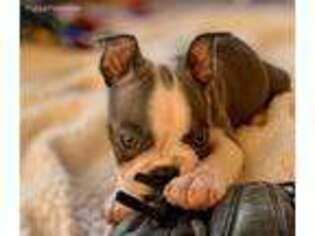 Puppyfinder com: Puppies puppies for sale near me in
