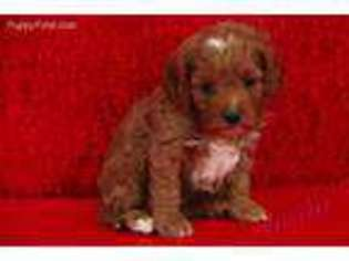View Ad Cavapoo Puppy For Sale North Carolina Hickory Usa