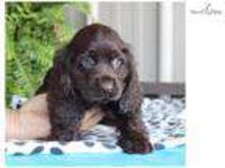 View Ad Cocker Spaniel Puppy For Sale Near North Carolina