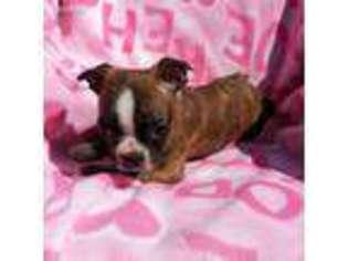 View Ad Boston Terrier Puppy For Sale North Carolina Newton Grove