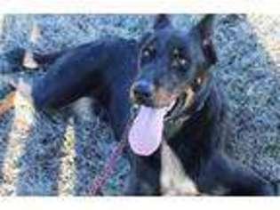 View Ad Beauceron Puppy For Sale Missouri Dexter Usa