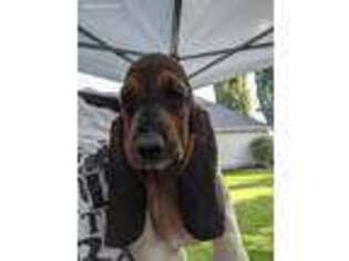 Basset Hound Puppy for sale in Alpine, UT, USA