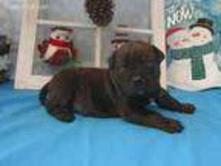 Bullmastiff Puppy for sale in Chanute, KS, USA