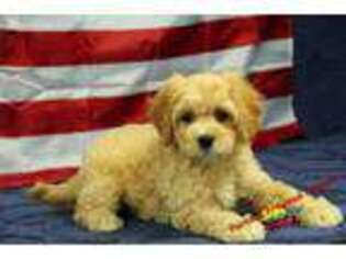Puppyfindercom Cavapoo Puppies Puppies For Sale Near Me In Hickory