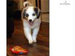 PuppyFinder com - View Ad: Photo #1 of Listing Australian