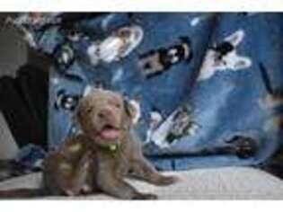 Labrador Retriever Puppy for sale in Bulverde, TX, USA