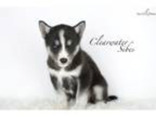 View Ad Siberian Husky Puppy For Sale Near Missouri Saint Joseph