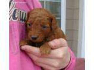 View Ad: Goldendoodle Puppy for Sale near Iowa, Doon, USA  ADN