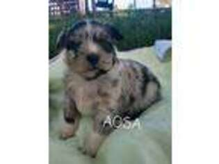 Mutt Puppy for sale in Montrose, CO, USA