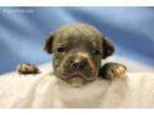 Staffordshire Bull Terrier Puppy for sale in Unknown, , USA
