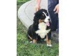 Puppyfindercom Bernese Mountain Dog Puppies Puppies For