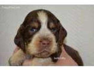 View Ad: English Springer Spaniel Puppy for Sale near South Carolina