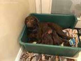 Chesapeake Bay Retriever Puppy for sale in Cottonwood, CA, USA