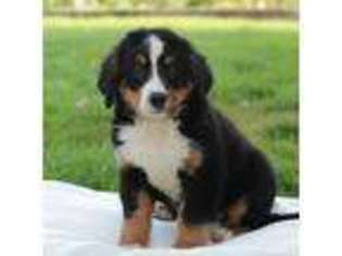 View Ad Bernese Mountain Dog Puppy For Sale Pennsylvania New