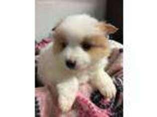 PuppyFinder com - View Ad: Photo #1 of Listing Pomeranian