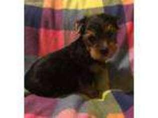 Puppyfinder com: Yorkshire Terrier puppies puppies for sale