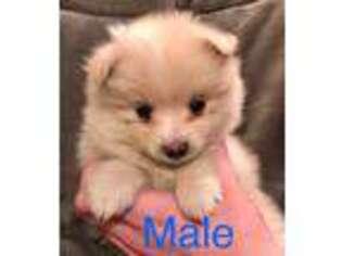 Puppyfinder com: Pomeranian puppies puppies for sale near me in