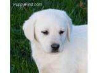 Labrador Retriever Puppy for sale in Apple Creek, OH, USA