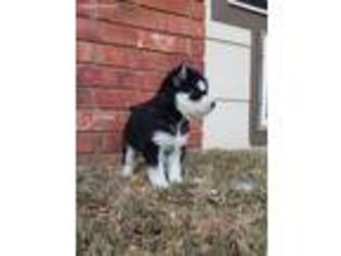 View Ad Siberian Husky Puppy For Sale Near Texas Lubbock Usa Adn