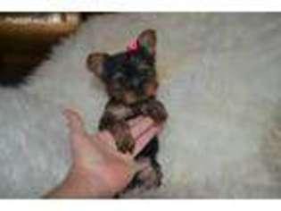 Puppyfindercom Yorkshire Terrier Puppies For Sale Near Me