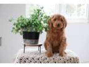 Goldendoodle Puppy for sale in Lititz, PA, USA
