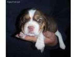 View Ad Beagle Puppy For Sale Minnesota Mountain Lake Usa