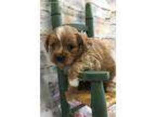 View Ad: Cavapoo Puppy for Sale near Minnesota, Mabel, USA