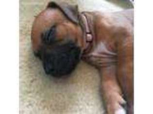 View Ad Rhodesian Ridgeback Puppy For Sale Maine Marshfield Usa