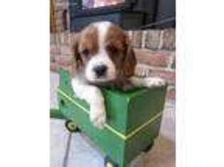 Cavalier King Charles Spaniel Puppy for sale in Mohnton, PA, USA