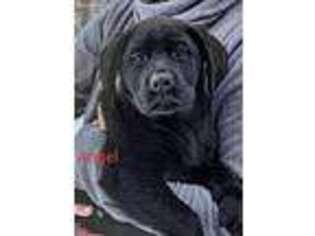 Labrador Retriever Puppy for sale in Roosevelt, MN, USA