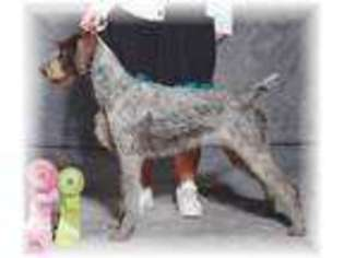 View Ad German Wirehaired Pointer Puppy For Near North