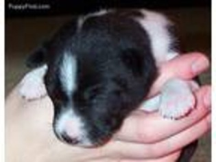 Puppyfinder com: Basenji puppies for sale and Basenji dogs for