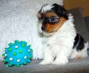 View Ad: Yorkshire Terrier Puppy for Sale near Idaho, Idaho