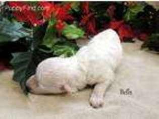 Bichon Frise Puppy for sale in Harrington, DE, USA