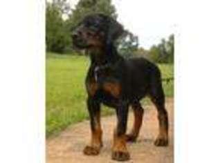 View Ad: Doberman Pinscher Puppy for Sale near California