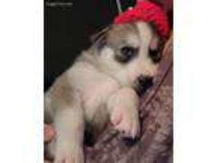 Siberian Husky Puppy for sale in Lake City, FL, USA