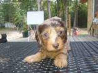 View Ad Dachshund Puppy For Sale Michigan Saint Helen Usa