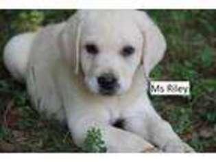 Labrador Retriever Puppy for sale in Dillwyn, VA, USA