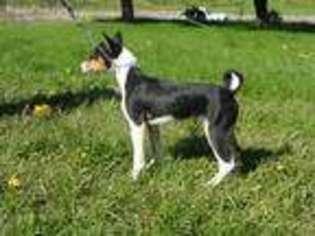 Puppyfinder com: Basenji puppies puppies for sale near me in