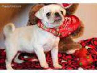 Pug Puppy For Sale near Houston, TX, USA