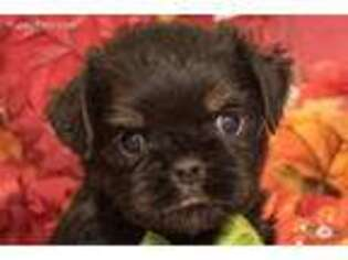 Small Brussels Griffon