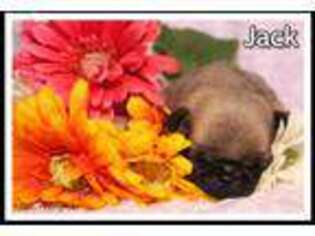Pug Puppy for sale in Canton, OH, USA