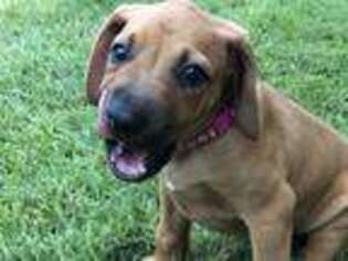 Rhodesian Ridgeback Puppy for sale in Georgetown, TX, USA