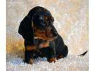 View Ad Dachshund Puppy For Sale Minnesota Maple Lake Usa