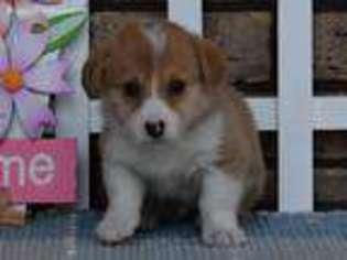 View Ad: Pembroke Welsh Corgi Puppy for Sale, Ohio, De Graff